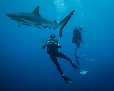 Blue Shark with Divers